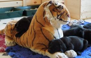 Die Labrador Welpen nehmen es sogar mit Tigern auf