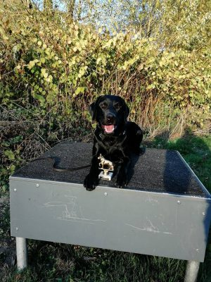 Labrador Retriever aus Niedersachsen