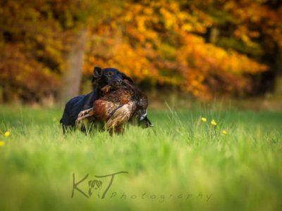 Labrador Burrendale Wookiee 001