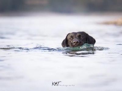 Labrador Burrendale Wookiee 002