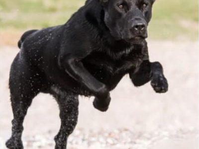 Labrador Burrendale Wookiee 005