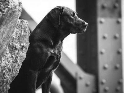Labrador Burrendale Wookiee 006