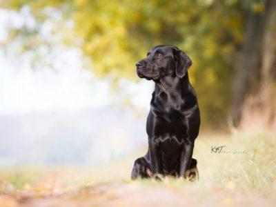 Labrador Burrendale Wookiee 007
