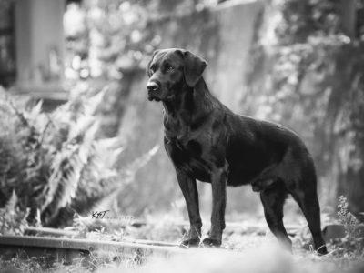 Labrador Burrendale Wookiee 009